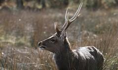 Sika Deer at Arne - Dorset 080318 (5) (Richard Collier - Wildlife and Travel Photography) Tags: wildlife naturalhistory nature mammals deer sikadeer arne rspbarne dorset dorsetwildlife