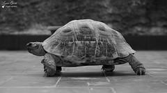 Tortue (Laurent Quérité) Tags: gard pontsaintesprit animaux tortues blackwhite france noiretblanc canonfrance canonef100400mmf4556lisusm canoneos7d canonflickraward