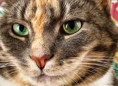 Kiki, do you love me? (RWOPhoto) Tags: portr iphone animal pet feline cat