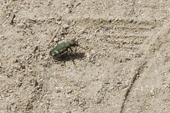 Yosemite Tiger Beetle (brucetopher) Tags: tigerbeetle tiger beetle path sand yosemite sierra mountain alpine highaltitude insect bug cicindela 6 six legs sixlegs critter creature tiny beauty beautiful pattern elytra maculations shell camouflage fast elusive animal outdoor