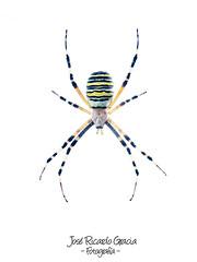 Argiope bruennichi (José Ricardo Gracia) Tags: araña spider argiope bruennichi fondo blanco white background macro