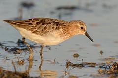 Little stint / Gambecchio (Cristiano Tedesco) Tags: avian avifauna pantano sunrise littlestint gambecchio plumage piume bird water limicoli firstlights