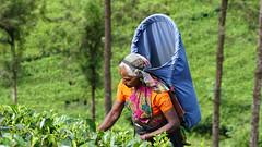 Nuwara Eliya (binbirgezi) Tags: nuwaraeliya srilanka tea worker