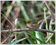 Silvereye (Bear Dale) Tags: delightful little birds silvereye nikon d850 nikkor afs 200500mm f56e ed vr ulladulla south coast new wales shoalhaven australia dale lake conjola fotoworx milton nsw bird bush twig branch branches grasses bokeh nature beardale lakeconjola southcoast framed aves pájaro oiseau desoiseaux lanature naturaleza faune faunasilvestre photo photograph groups group flickr naturephotography