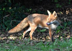 Red Fox (Clare_leeloo) Tags: fox redfox vulpes nature wildlife