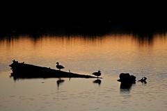 Golden Gardens Sunset (dsgetch) Tags: goldengardenspark sunset pnw pacificnorthwest pnwlife water ponds pond cascadia oregon willamettevalley lanecounty eugeneoregon