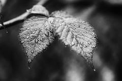 *** (pszcz9) Tags: przyroda nature natura naturaleza kropla drop raindrop bokeh zbliżenie closeup beautifulearth liść leaf sony a77