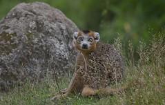 Eyes of Lemur (Coisroux) Tags: lemur d850 nikond850 eyes fields rock strepsirrhine animalportrait nikkor200500mmf56
