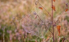 Surae,...inthe morning. (Willem Vernooy (FoToWillem)) Tags: surae oosterhout bos wood nature natuur spider atumn herfst jaargetijde zonsopkomst sunrise mist misty netherlands nederland brabant holland hollanda hollande ftw fotowillem willemvernooy