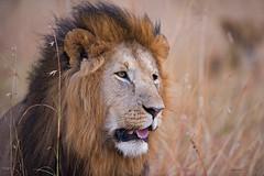 The King (WhiteEye2) Tags: maranorthconservancy kenya africa wildlife nature bigcats lion male safari httpserikapavamanizenfoliocom
