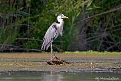 Airone cenerino _055 (Rolando CRINITI) Tags: aironecenerino uccelli uccello birds ornitologia curtatone mincio natura
