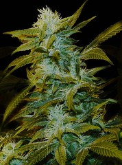 Unknown-2 (Watcher1999) Tags: super silver haze skunk cannabis seeds bilbo buds best kush california jamaica medical marijuana growing strain bob marley plant weed weeds smoking legalize it ganja reggae