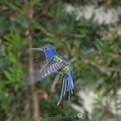 _DSC0367 (Roger Hummingbirds) Tags: animal nature bird birds colibri wildlife hummingbird wings flight feeder flower nectar south america rain forest color colorful colour fly flying spread blue green delicate flora floral beauty inflight ornithology wild brazil beijaflor tesourinha kolibrie feathers outdoor verde azul natureza do sul vôo voando delicado flores