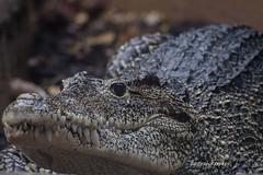 Cuban Crocodile (Crocodylus rhombifer) DSC_4606 (ikerekes81) Tags: cubancrocodilecrocodylusrhombifer cubancrocodile cuban crocodile crocodylusrhombifer crocodylus rhombifer reptile reptilediscoverycenterzoonationalnational rdc reptilediscoverycenter dc dczoo washingtondc washingtondczoo washington smithsoniannationalzoologicalpark smithsonian smithsoniannationalzoo zoo zoosmithsonian national nationalzoo nikond500 nikon d500 70300mm istvankerekes istvan ik kerekes fonz fonzphotoclub photography photoclub animal