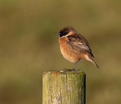 Stonechat (m) (Gary McHale) Tags: fence post stonechat bokeh rspb old moor gary mchale male