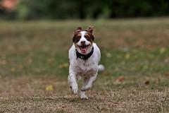 Vertical velocity (R.D. Gallardo) Tags: vertical velocity velocidad perro dog retrato run buru luna canon eos 6d raw eos6d tamron 70200 f28