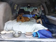 Camp dog in her natural habitat (simonov) Tags: lassen national park forest car camping bella dog hund chien 狗 σκύλοσ madra cane 犬 perro 개 سگ собака الكلب germansheprador