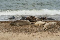 2018_Norfolk_HorseyBeach_Seals_10 (atkiteach) Tags: norfolk uk england horsey horseybeach sea seaside northsea beach seal seals