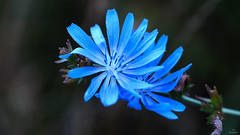 Cichorei..... (Piet photography) Tags: macro blue flower cichorei bloem contrast focus details tamron90mm sony
