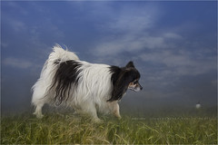 Frolicking (Marijke M2011) Tags: 2018 papillion épagneulnainpapillon vlinderhondje hond dog dogportrait pet petportrait animal studio studiolightning indoor amsterdam thenetherlands rescuedog canon grass sky field illustration cs 1245891 cs1245891