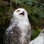 Snowy owl thumbnail