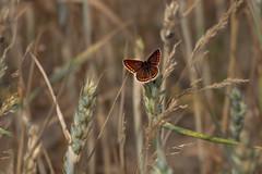 DSC01692 (waltsphoto) Tags: schmetterling kornfeld natur tagfalter sommer