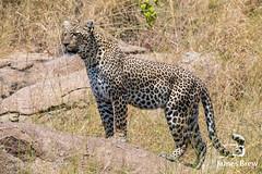 Leopard (www.jamesbrew.com) (James Brew (www.jamesbrew.com)) Tags: tanzania africa eastafrica wildlife wildlifephotography safari travel travelphotography serengeti serengetinationalpark