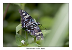Blue skipper (Jan H. Boer, Nature photographer) Tags: phocidesbelus blueskipper butterflies insects macro nature turrúcares nikon d500 afsnikkor200500f56eedvr jan´sphotostream2018