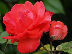 Rose flower in garden. (kyliepics) Tags: flower gardenplant rose olympus e520 evolt520 om50mmf18