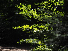 Beech Tree Wood Leaf Leaves Nature Forest Wood © Buche Baum Blatt Laub Natur (hn.) Tags: badtölzwolfratshausen baum bavaria bayern beech beechtree blatt blätter buche buchenblatt copyright copyrighted deutschland eu europa europe forest forestfloor germany green grün heiconeumeyer isarwinkel landkreisbadtölzwolfratshausen laub leaf leafs oberbayern oberland sachsenkam tree tölzerland upperbavaria wald waldboden wood