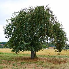 Der Apfelbaum (ivlys) Tags: lahnau feld field apfelbaum appletree apfel apple frucht fruit landschaft landscace natur nature ivlys