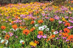 Spring Flowers 2018 (John Cosnett) Tags: flowers wild outdoor spring colors nature southafrica westcoast africa wildflowers coastal