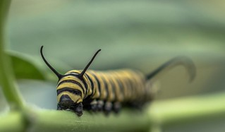 Monarch Butterfly Caterpillars � 💚