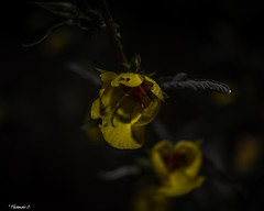 Yellows Before Sunrise (that_damn_duck) Tags: nikon nature plant flower petals stems blossom blooming vine wildflowers