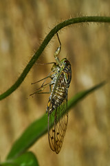 Picture of the day for September 9, 2018 (sivappa.technology) Tags: picture day for september 9 2018 httpcrazytrendzoneblogspotcom201809pictureofdayforseptember92018html purana tigrina is species cicada genus found southeast asia this newly emerged female after moulting they will find suitable place hang vertically their wings need be inflated with fluid skin harden prior making maiden flight learn more httpsuploadwikimediaorgwikipediacommons776puranakadavoor20170602001jpg httpscommonswikimediaorgwikifilepuranakadavoor20170602001jpg 0541am