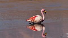 zum Verwechseln ähnlich (marionkaminski) Tags: bolivien bolivía südamerika southamerica lateinamerika panasonic lumixfz1000 flamingo flamenco bird oiseau parajo tier animal animali dieren lagune lagunacanapa altiplano