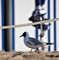 Plage de Cabourg (dragonzaurparis) Tags: normandie normandy cabourg france oiseau plage nature