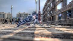 Pigeon Pier (Michael F. Nyiri) Tags: pigeons birds oceanside california oceansidepier