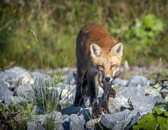 Gaspésie 10 (Luc Jacob) Tags: animal gaspésie lieux nature vacance vacances villes voyage voyages
