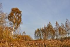 Red-autumn / Рыжуха-осень (SerenitySS) Tags: осень autumn октябрь october пейзаж landscape ландшафт landschaft россия russia смоленскаяобласть smolenskregion природа nature деревья wood trees роща grove трава grass берёза betula birch небо sky