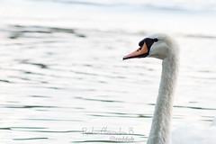 Another swan (Radu-Alexandru) Tags: bucharest romania swan lake park bird cigne cigno cygne animal lovers landscape nature portrait shoot sonya5000 sonyalpha porst135mm 135mmf28