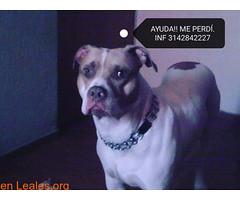 Ares perro raza pitbull perdido (Leales.org • tu guía animable) Tags: adopta adoptar adoptanocompres noalmaltratoanimal adopción sebusca extraviado perdido perro gatos lealesorg