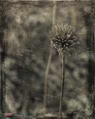 Old Men Shall Dream (MBates Foto) Tags: availablelight bokeh botanicals existinglight flora floral flowers inspirational nikkorlens nikon nikond810 nikonfx outdoors plants shrubbery textures undergrowth spokane washington unitedstates 99203 sepia