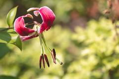 Black Beauty (oandrews) Tags: blackbeauty canon canon70d canonuk flora flower garden lilium liliumspeciosum lily nature orienpetlily orientaltrumpetlily outdoors petals plant plants