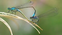 Blue-tailed Damselflies - Ischnura elegans (Visual Stripes) Tags: ischnura elegans bluetailed damselfly insects mating nature invertebrate sigma105mm macro panasoniclumixg1 microfourthirds mft m43 panasonic bokeh