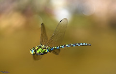 Southern Hawker. (Explored). (spw6156 - Over 6,826,606 Views) Tags: southern hawker copyright steve waterhouse 600mm f8 explored