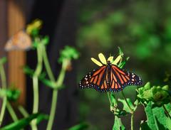 the butterfly pavilion reopens (johngpt) Tags: fujifilmxt1 fujinonxf55200mmf3548rlmois butterflypavilion monarchdanausplexippus butterfly abqbotanicgardens places