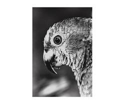 Parrots: great animals. (José Toledo.) Tags: arte art composition conceptual creative contrast nature natural ilustration instagram inspiration visualart vertical blancoynegro blackandwhite black bw landscape bird parrot monochrome minimalism macro fineart fineartphotography