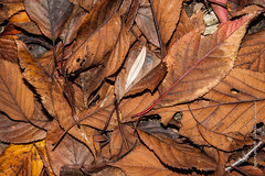 Autumn leaves (Lucien Schilling) Tags: autumn october natural color season nature leaf brown fall ground red trees maple colorful tree orange forest abstract plant leaves texture foliage yellow seasonal seasons