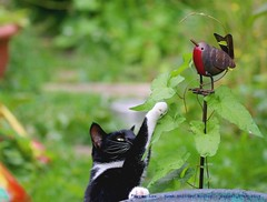 He hasn't seen me, this birdie is MINE!!...:) (law_keven) Tags: cat cats catford london england uk photography wildlife wildlifephotography pets robin gardens feline